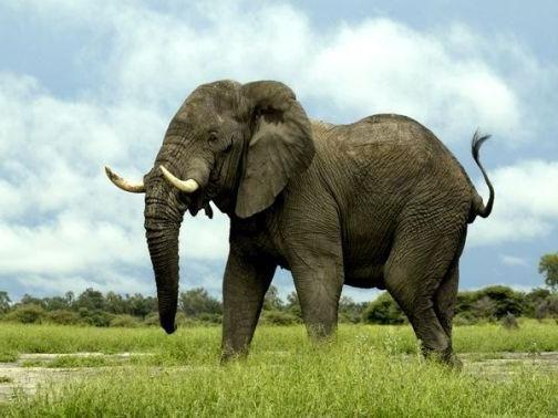 слон саванний