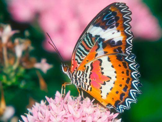 Скільки живуть метелики?