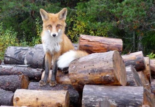 Скільки живуть лисиці?