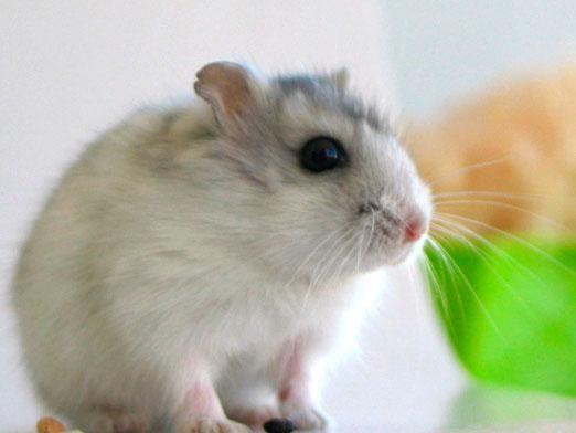Скільки живуть миші?