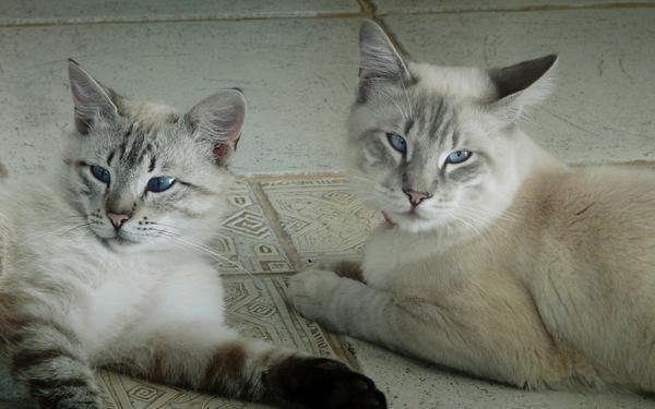 захворювання очей у кішок