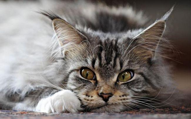 ніж промити кішці очі