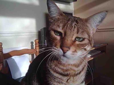 сльозяться очі у шотландської кішки
