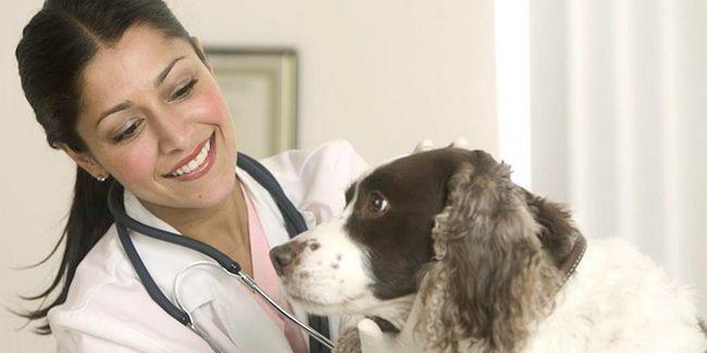 Ветеринар збирається лікувати бурчання в животі у собаки