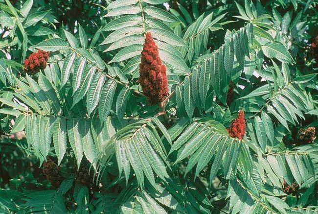 сумах оленерогій оцтове дерево