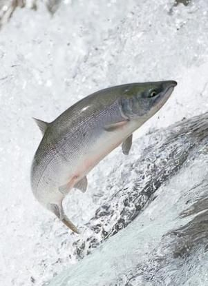 Уникальная рыба кета