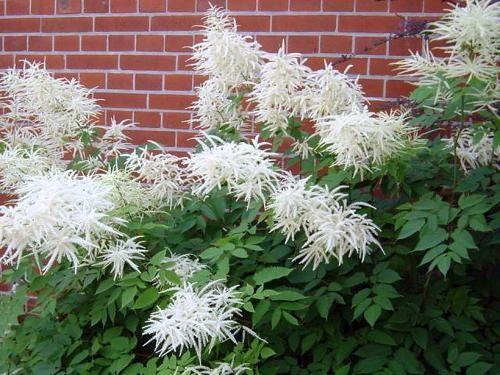 Волжанка - растение семейства розоцветных