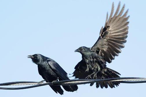 Ворон: сколько лет живет эта птица