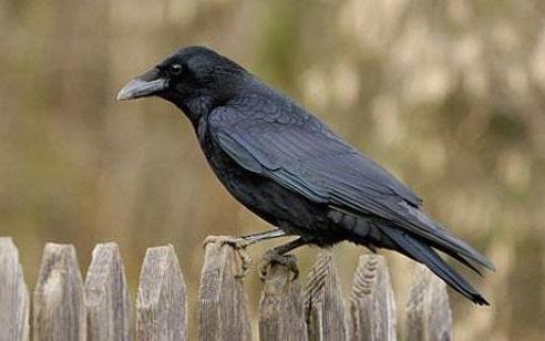 скільки років живе ворона