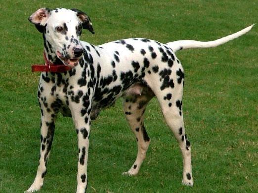 Навіщо собаці хвіст?