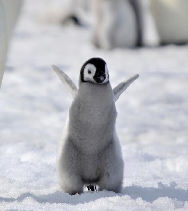 Замечательный пловец и ныряльщик, или почему пингвин не летает?