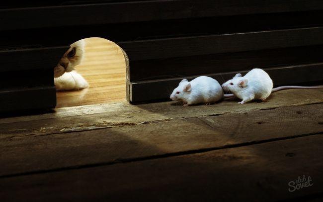 Запах мышей, как избавиться