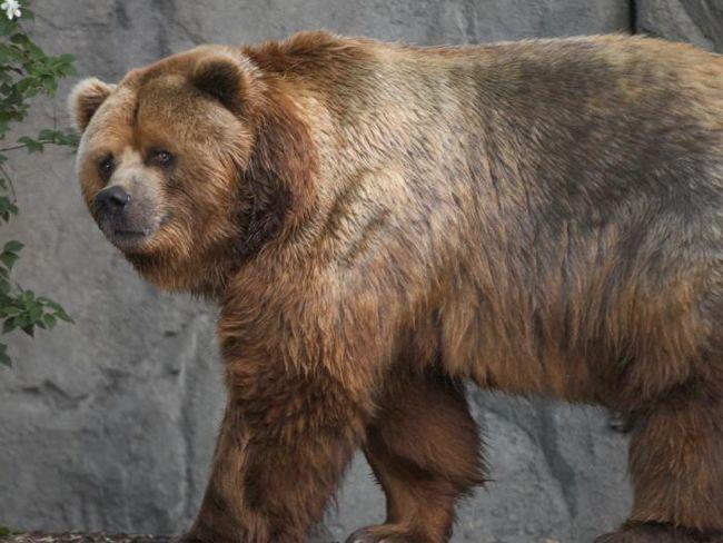 найбільший в світі ведмідь